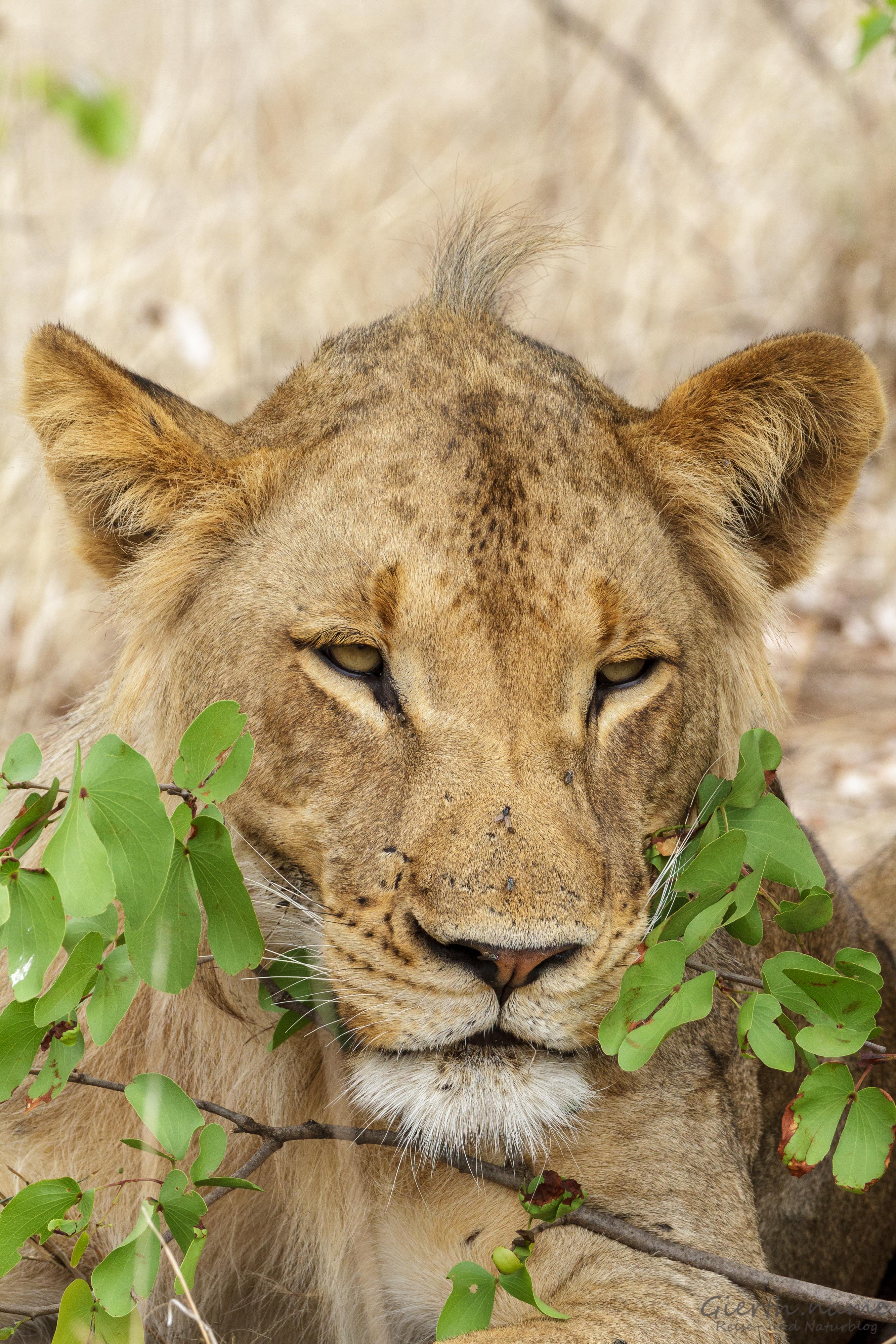 Löwe im Kruger Park