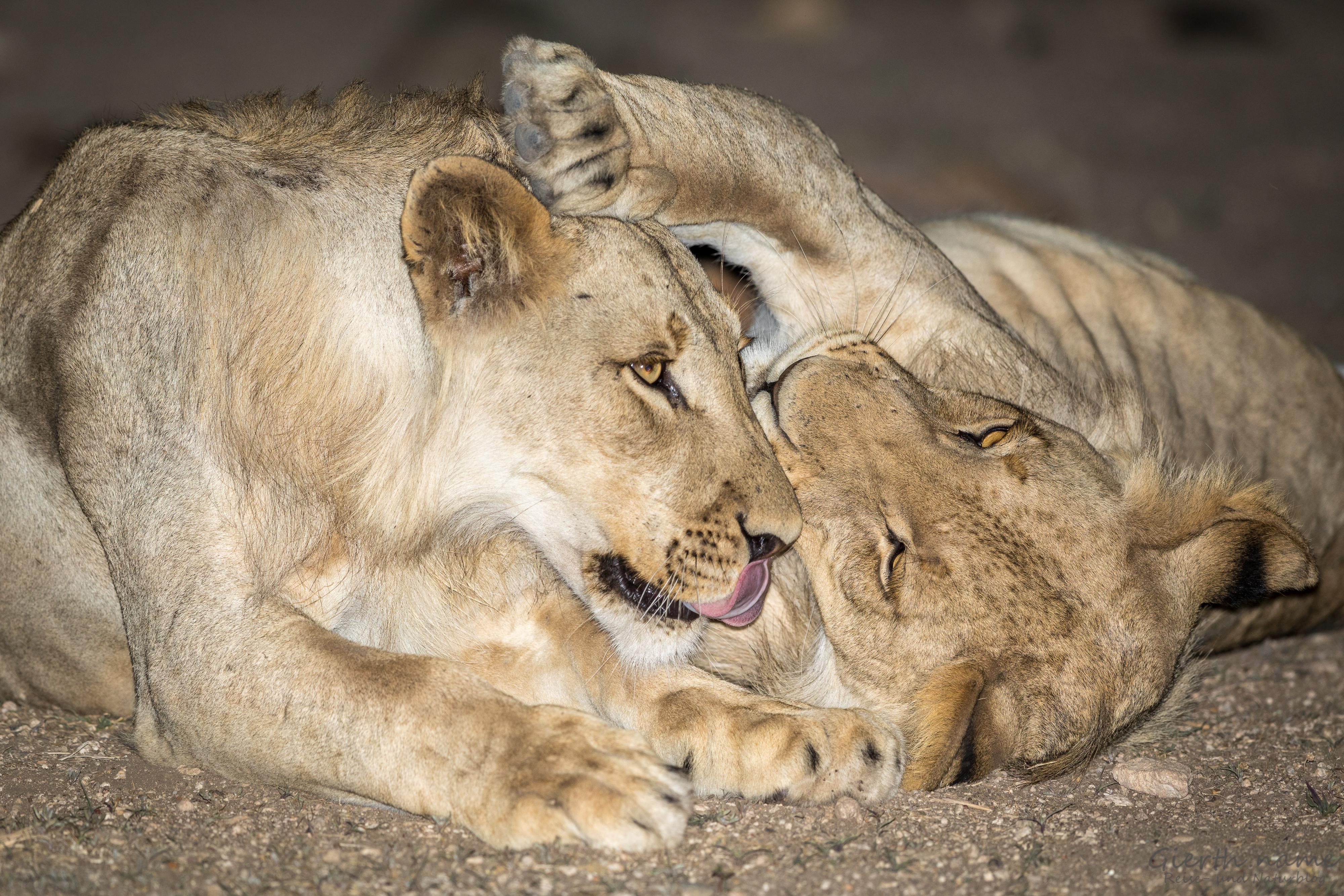 Nächtliches Löwenkuscheln