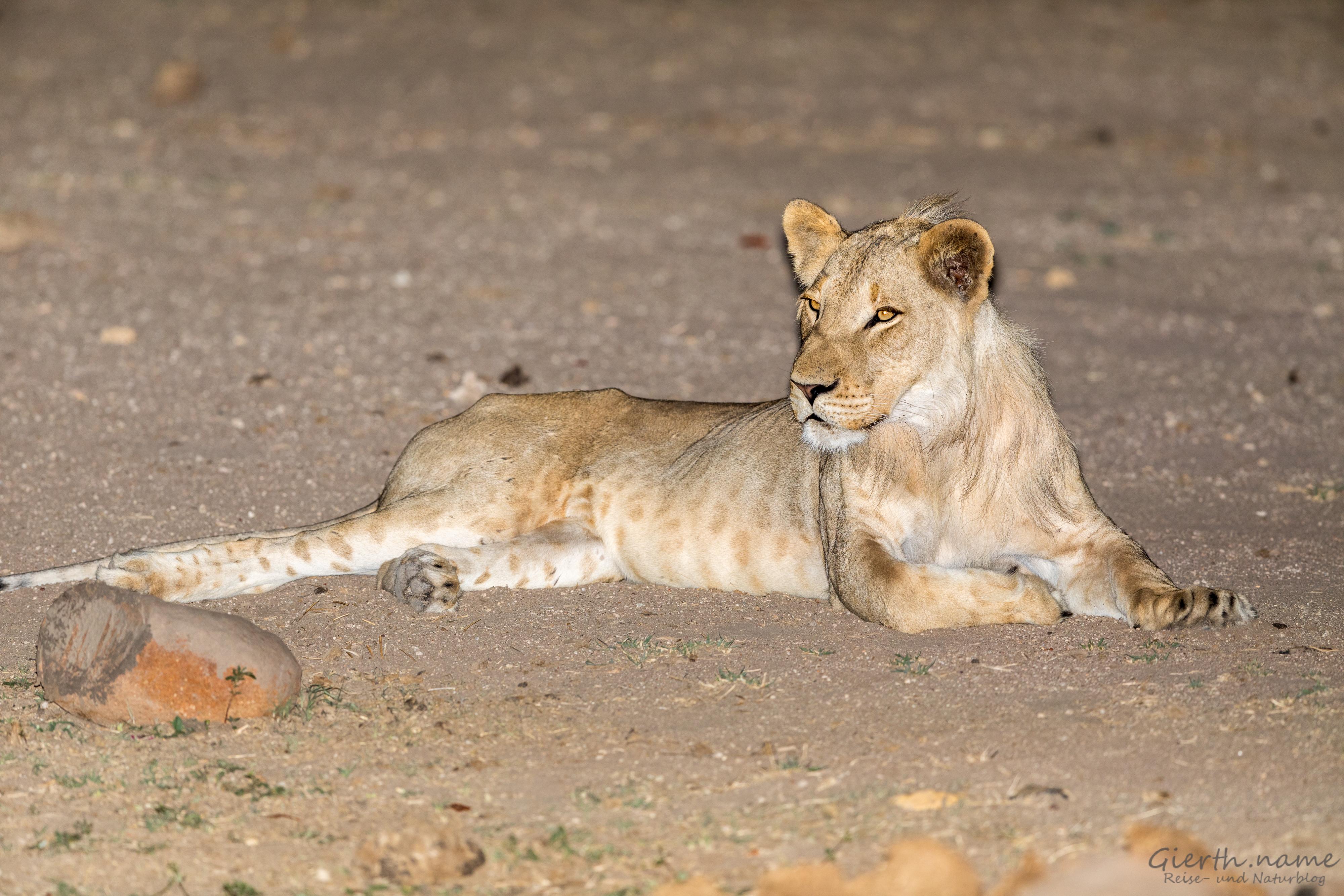 Löwe bei Nacht