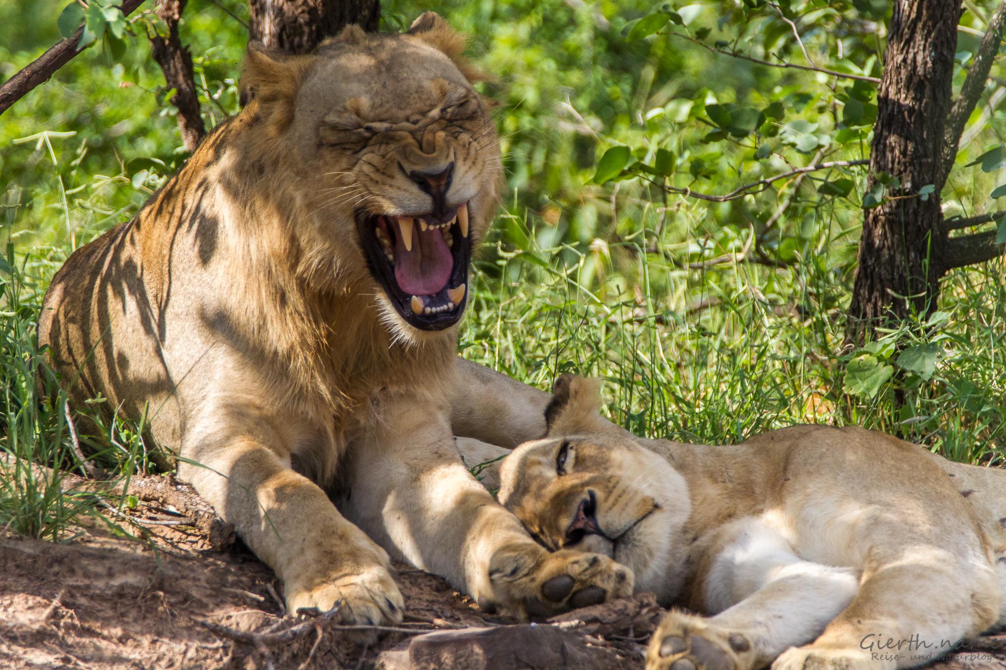 Löwen an der Straße von Letaba nach Olifants