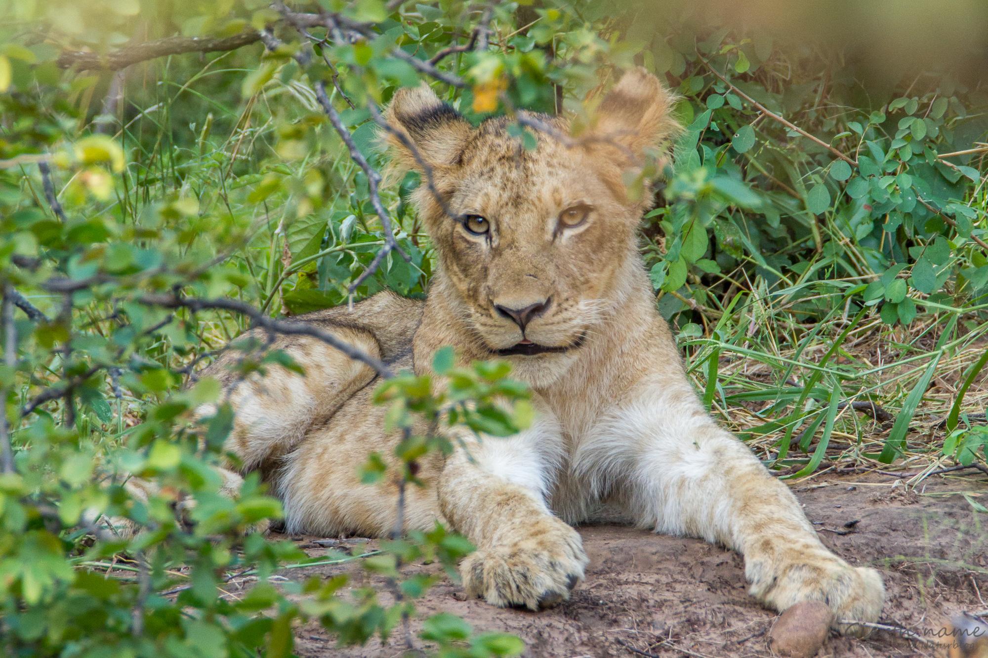 Junger Löwe in der Nähe von Letaba