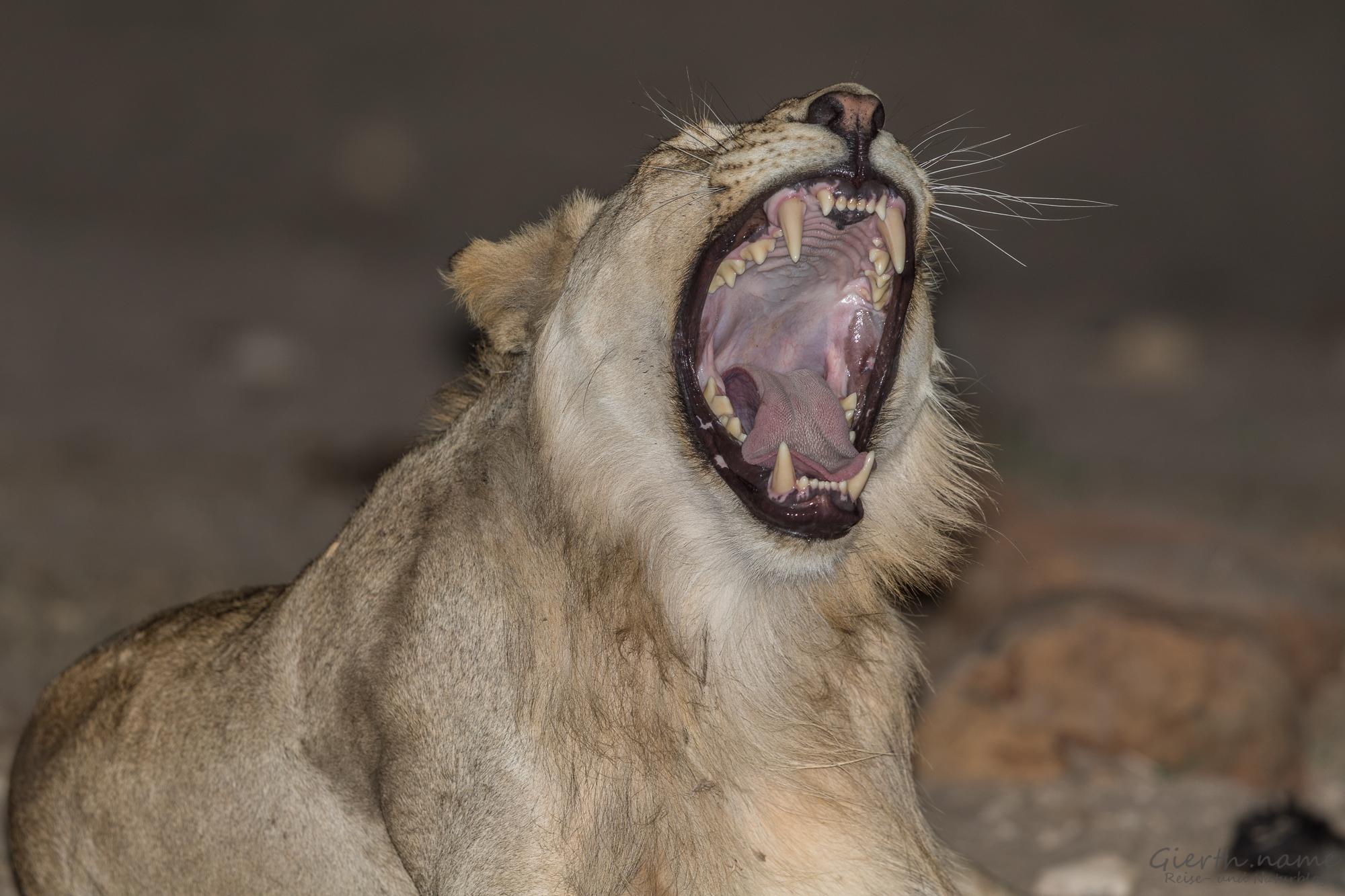 Löwe gähnt bei Nacht