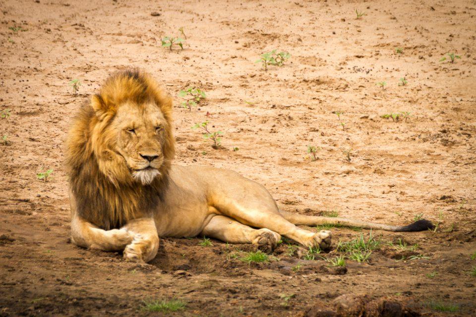 Löwe im ausgetrockneten Flußbett