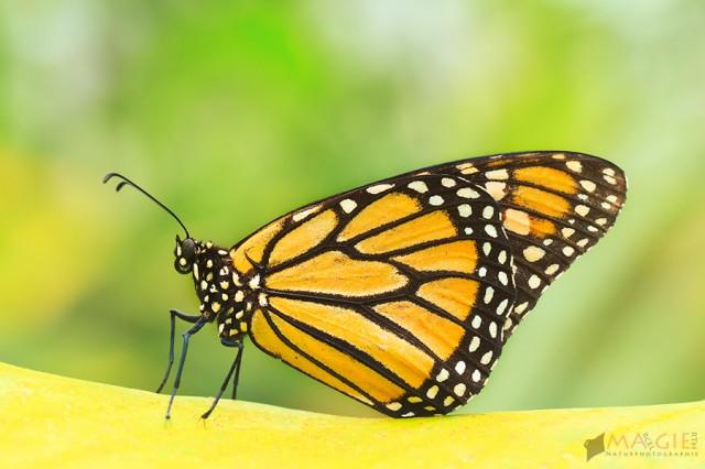 Countdown – noch 14 Tage bis zur Schmetterlingsausstellung