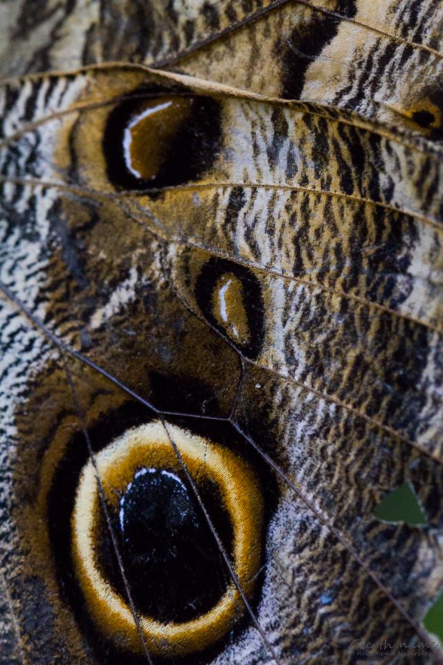 Augenfleck des Bananenfalters