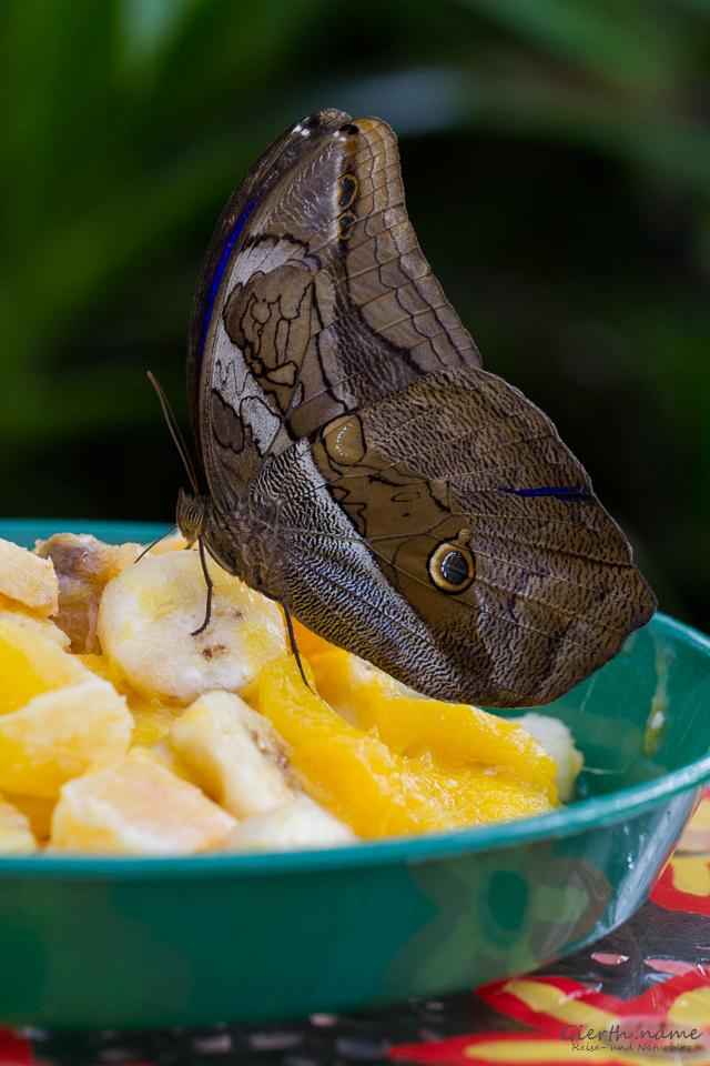 Bananenfalter saugt an gegorenen Früchten