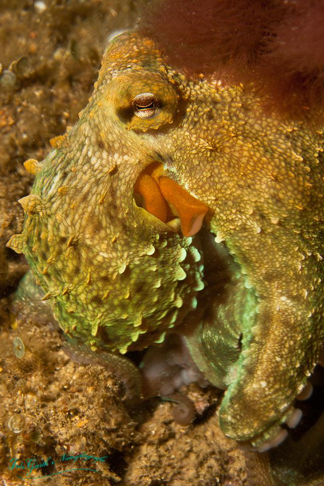 Entkommener Oktopus