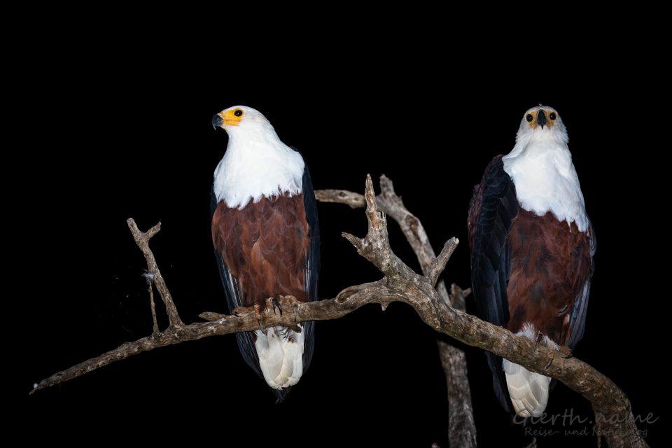 Schreiseeadler- African fish eagle - Haliaeetus vocifer