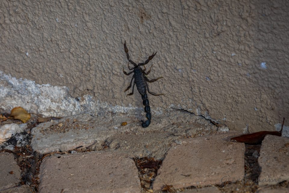 Suedafrikanischer Dickschwanzskorpion - Parabuthus transvaalicus - Transvaal thick-tailed scorpion