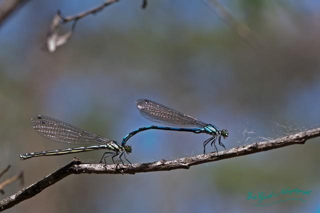 Männchen und Weibchen der Bileks Azurjungfer