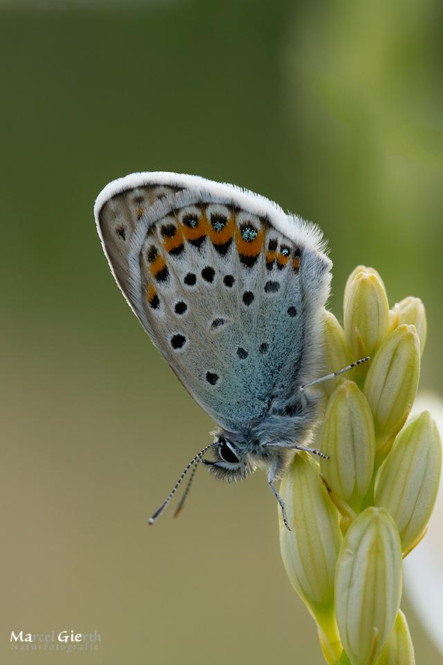 Unser Schmetterlingsjahr 2014 – Bläulinge Teil II