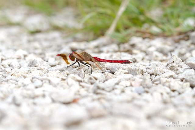 Sympetrum pedemontanum - Gebänderte Heidelibelle,  Männchen