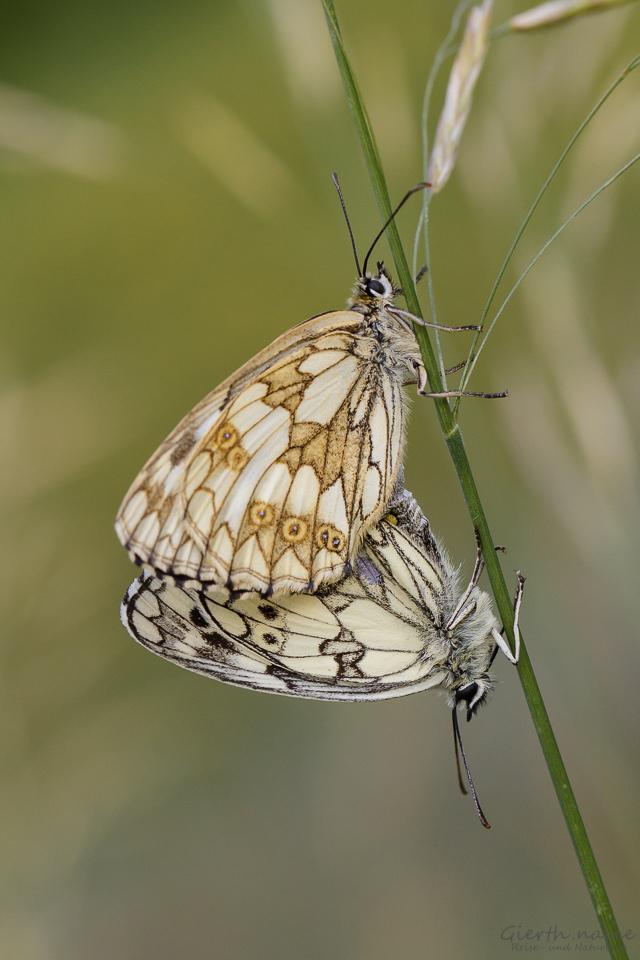 Damenbrett (Melanargia galathea)
