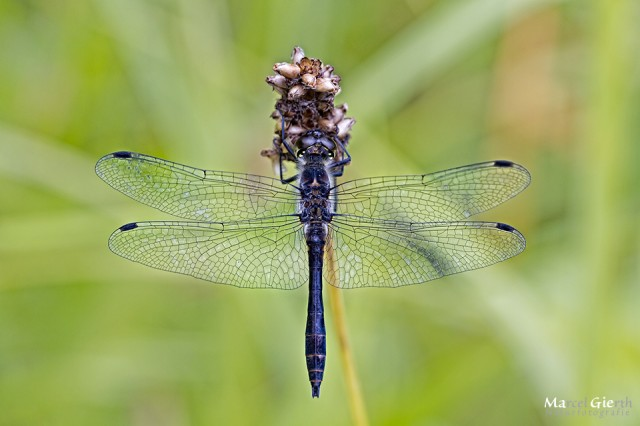 Sympetrum danae - Schwarze Heidelibelle, Männchen