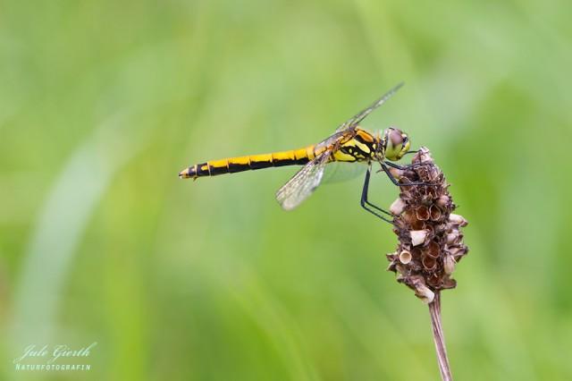 Sympetrum danae - Schwarze Heidelibelle, Weibchen