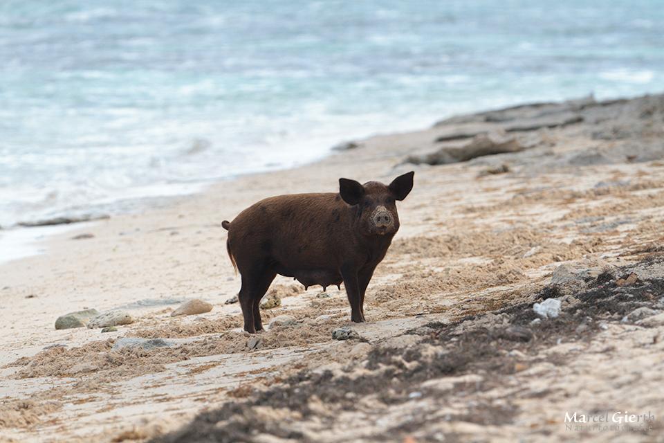 Strandschweinchenmama