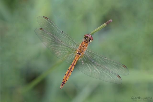 Die Sumpf Heidelibelle – Sympetrum depressiusculum