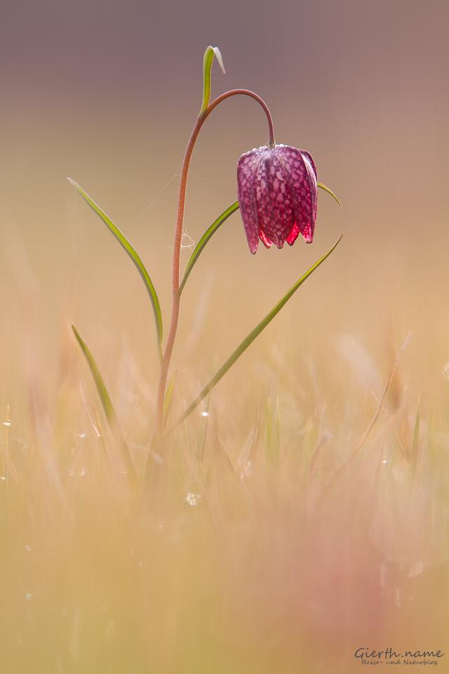Schachbrettblumen und Gämsen in Schwaben