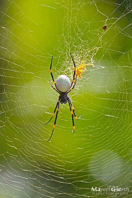 Handgrosse Spinne