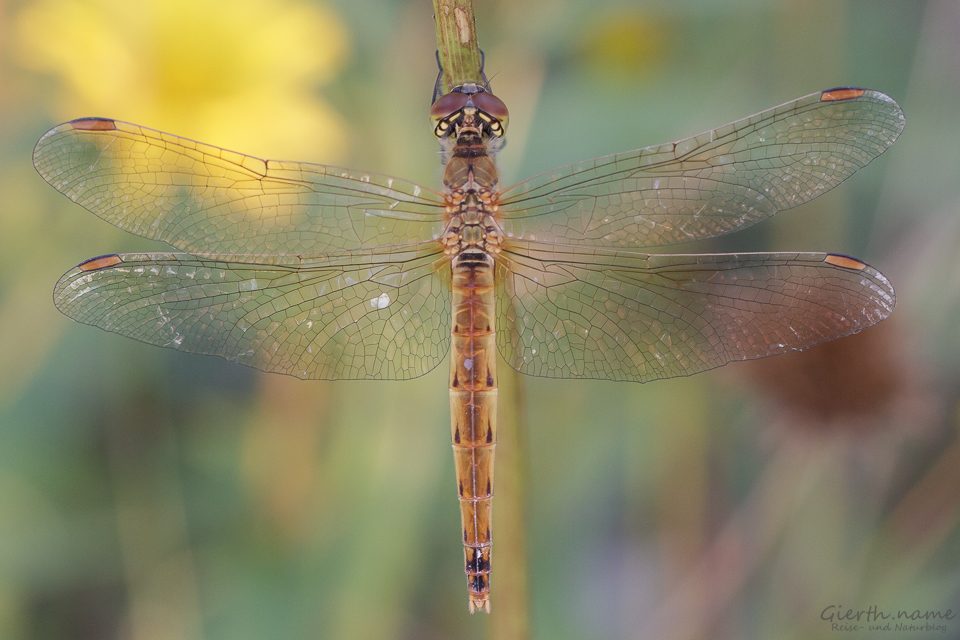 Sumpfheidelibelle - Sympetrum depressiusculum - bald ohne Lebensraum?