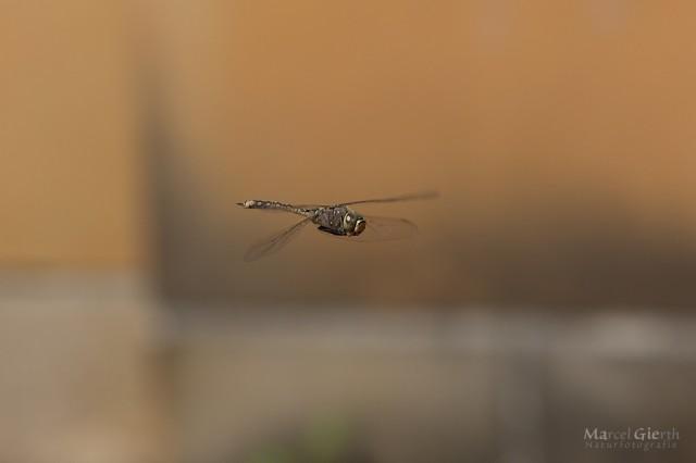 Die erste australische Libelle