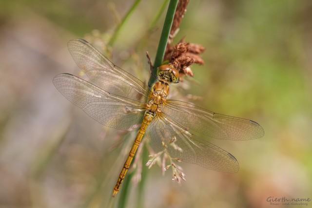 Juveniles Männchen der Großen Heidelibelle - Sympetrum striolatum - lasalle  - 18. Juli 2015 - 1435
