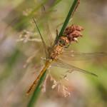 Juveniles Männchen der Großen Heidelibelle - Sympetrum striolatum