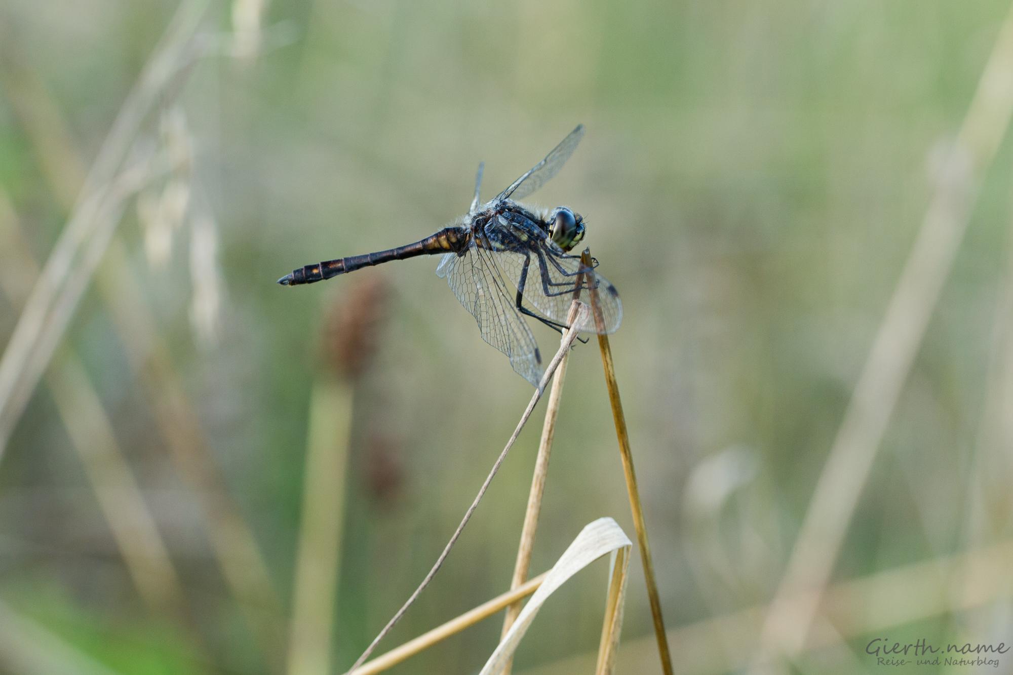 Sympetrum danae - Schwarze Heidelibelle
