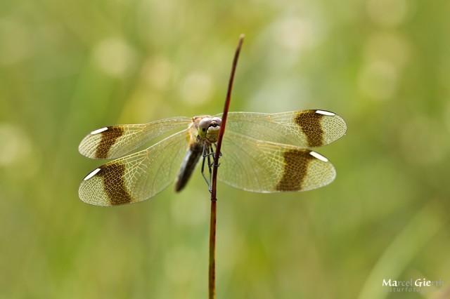 Sympetrum pedemontanum - Gebänderte Heidelibelle, Weibchen
