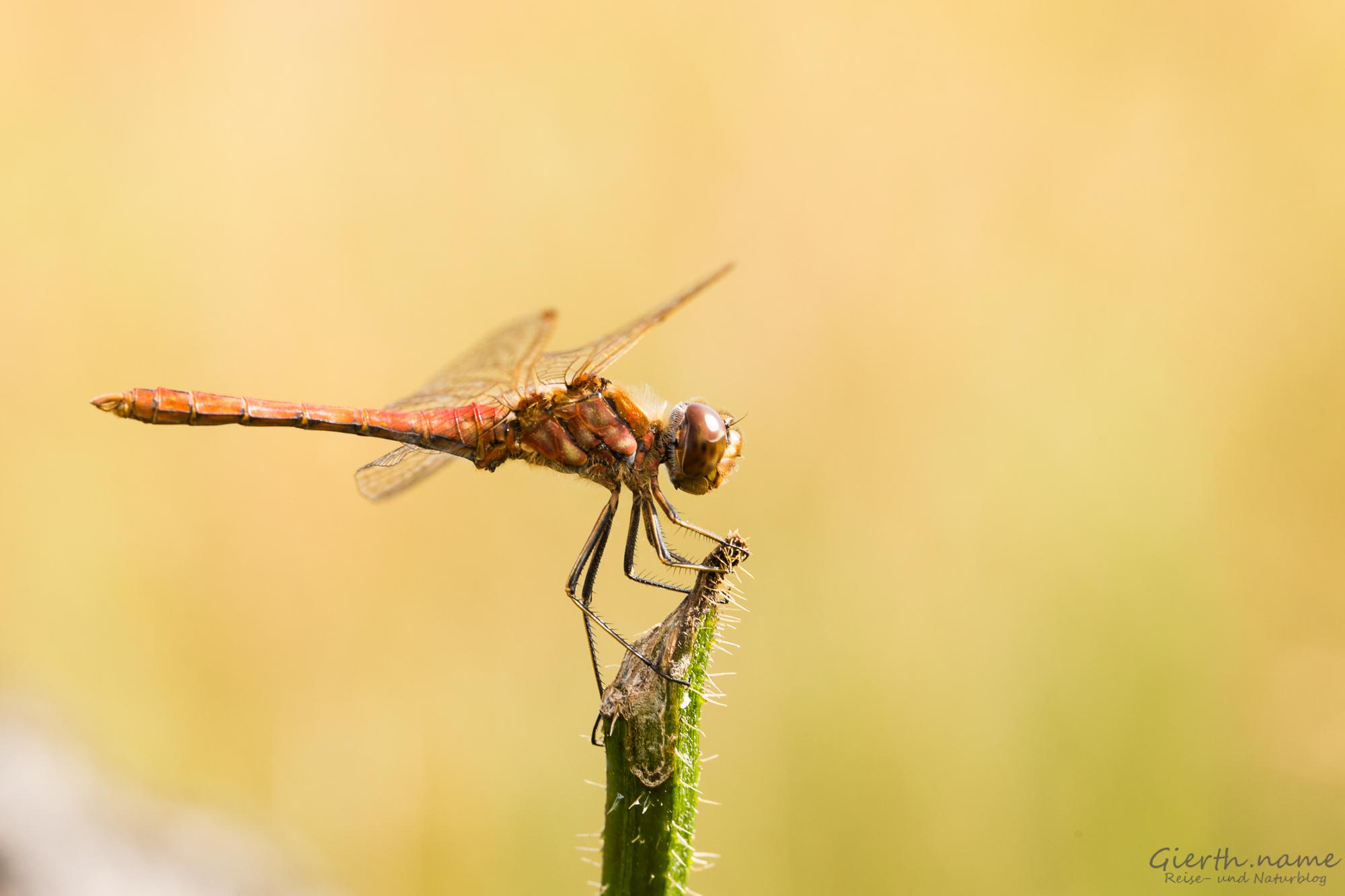 Libellen: Saisonabschluss