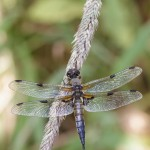Vierfleck – Libellula quadrimaculata