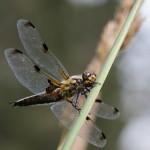 Vierfleck – Libellula quadrimaculataVierfleck – Libellula quadrimaculata