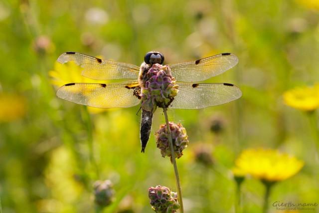 Vierfleck - Libellula quadrimaculata