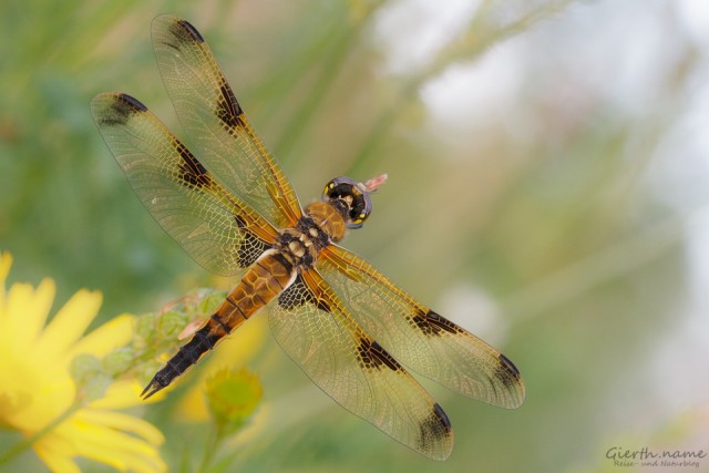 Male Vierfleck - Dragonfly quadrimaculata - form praenubila