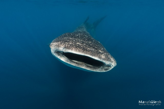 Walhai in Mexiko 2013