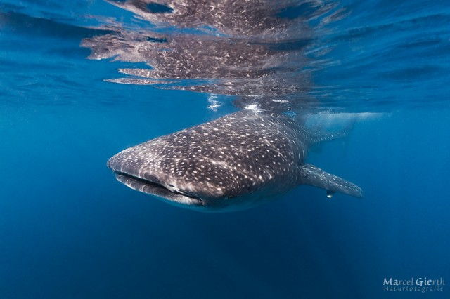 Walhaie – Sommer 2013