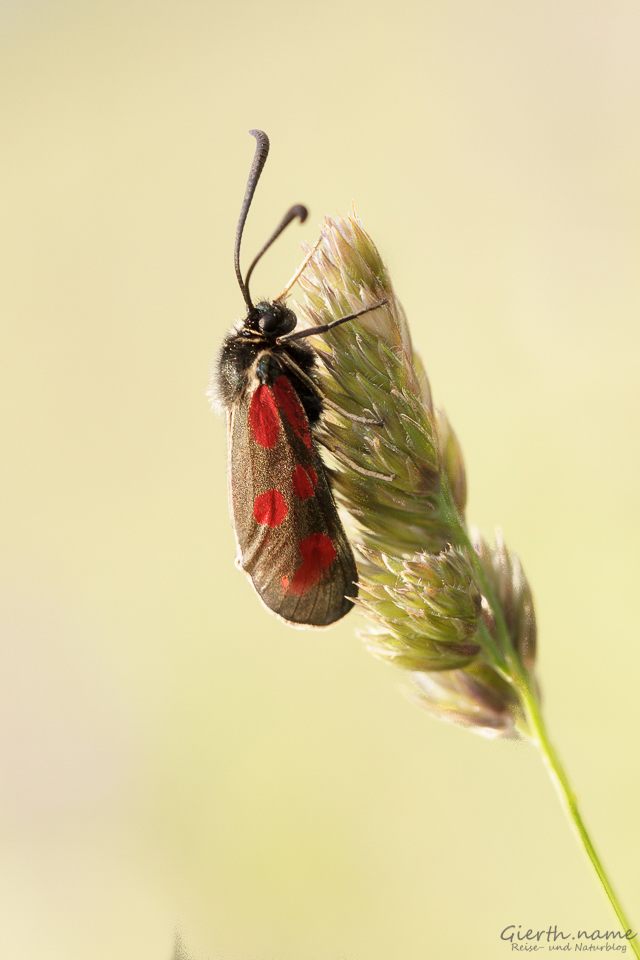 Beilfleck-Widderchen (Zygaena loti)