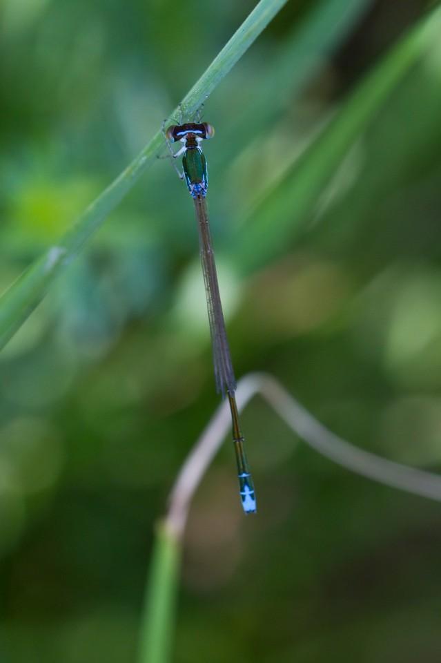 Zwerglibelle (Nehalennia speciosa)