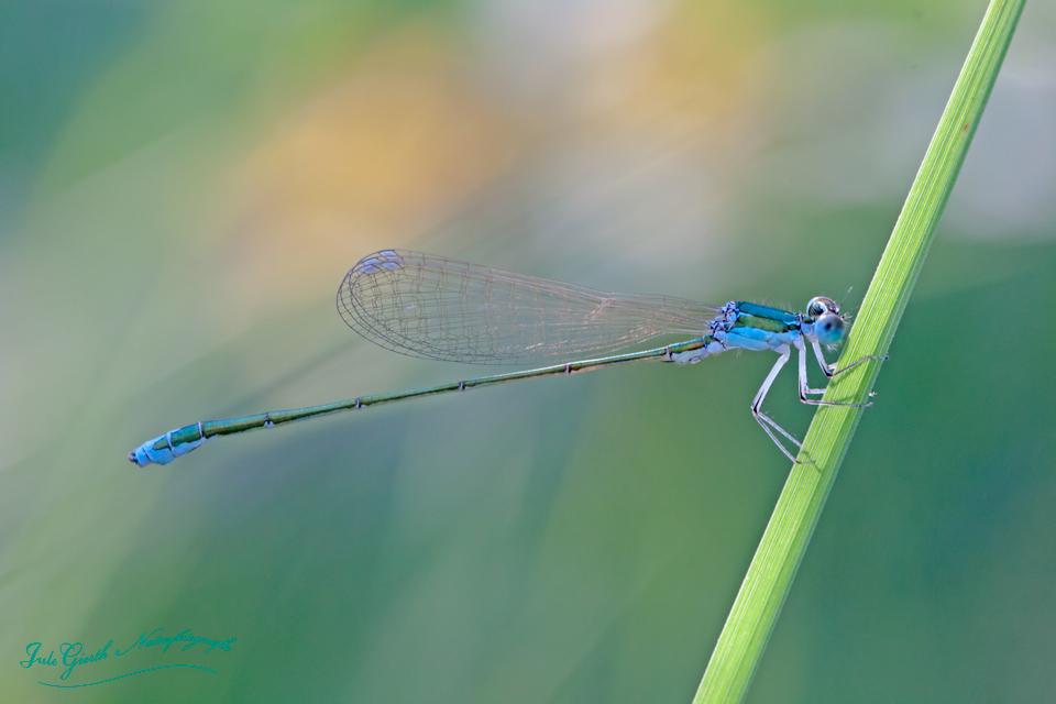 Libelle des Jahres 2018: Zwerglibelle  – Nehalennia speciosa (Charpentier, 1840)