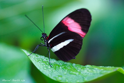 Heliconius melpomene - Postbote - Postman Butterfly