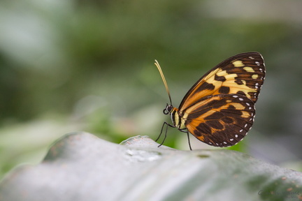 Tithorea harmonia / Heliconius sp