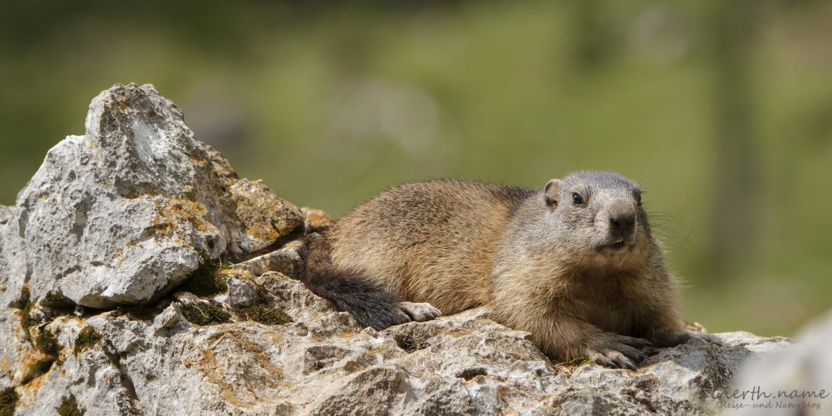 Murmeltiere auf der Bachlalm in Österreich - Marmots at the Bachlalm in Austria