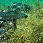 Forelle im Grünen See