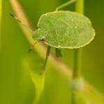 Gruene-Stinkwanze-(Palomena-prasina)