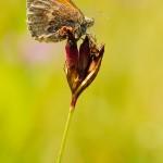 Kleines Wiesenvoegelchen - Coenonympha pamphilus