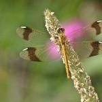 Gebänderte Heidelibelle (Sympetrum pedemontanum)