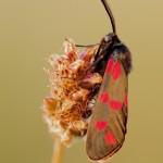 Sechsfleck-Widderchen (Zygaena filipendulae)