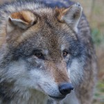 Der Wolf - Lupus Canis