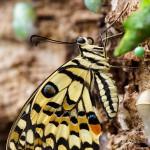 Königspage / Königsschwalbenschwanz -papilio thoas - The King Swallowtail / Thoas Swallowtail