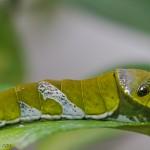 Raupe eines Papillon